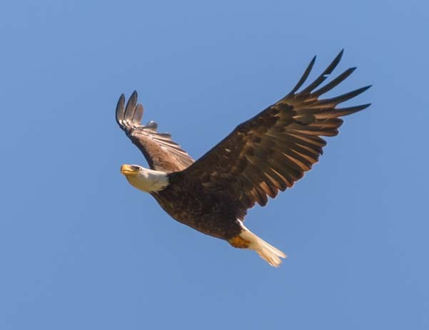 Bald Eagle Flying in Libby Montana