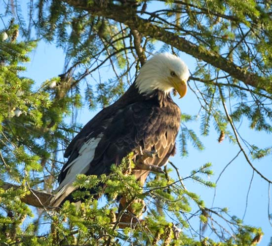 Bald Eagle in tree Libby Montana