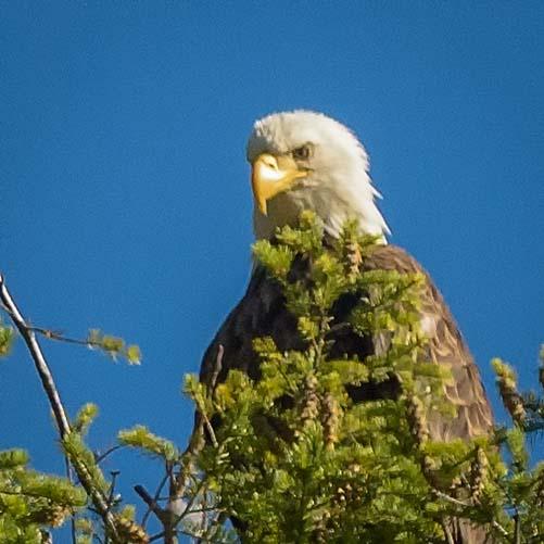 Bald Eagle Montana