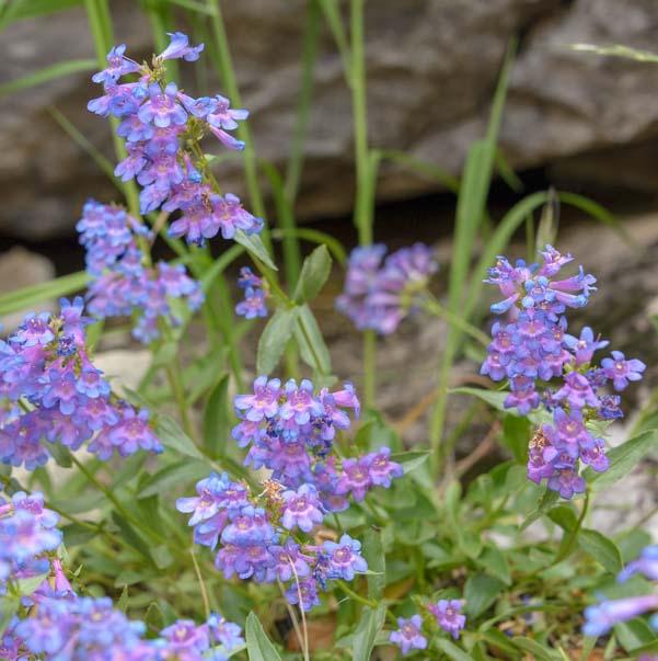 Wildflowers Glacier National Park Montana