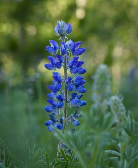 Lupine wildflower East Glacier National Park Montana