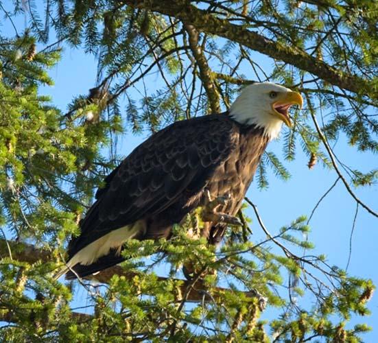 Bald Eagle squawking Libby Montana