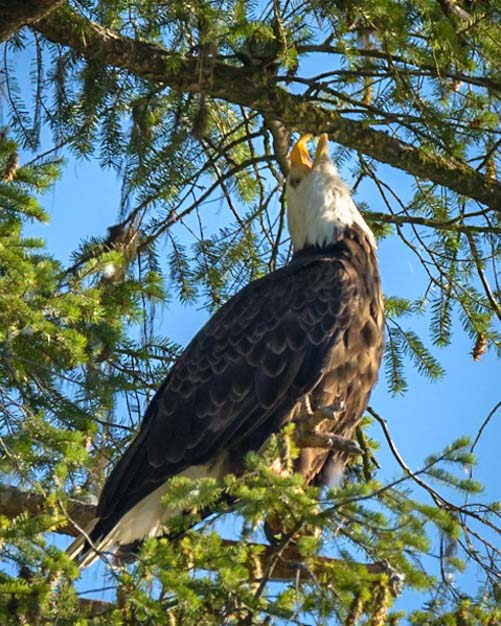 Bald Eagle Calling Libby Montana