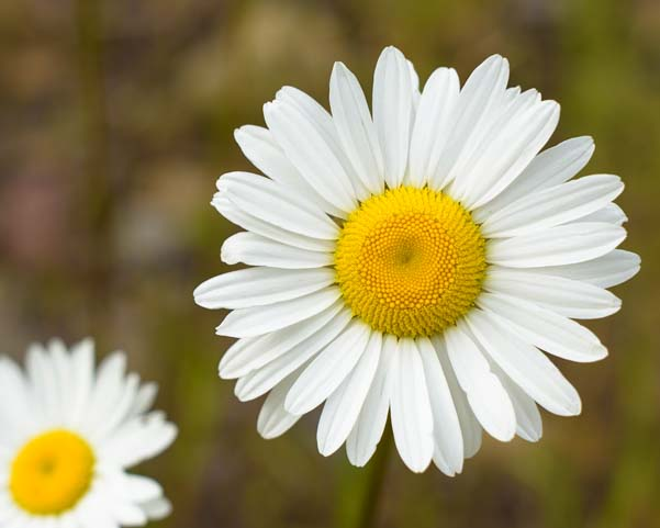 Daisy blooming East Glacier National Park Montana St Mary