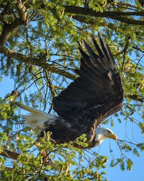 Bald Eagle Taking off Libby Montana