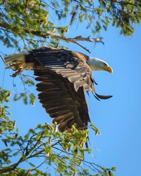 Bald Eagle Launching Libby Montana