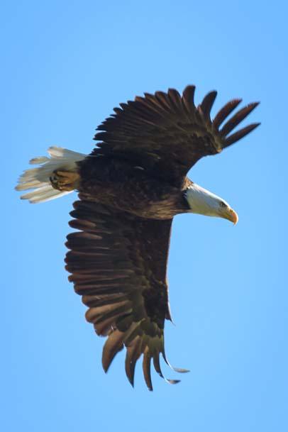 Bald Eagle flying Libby Montana