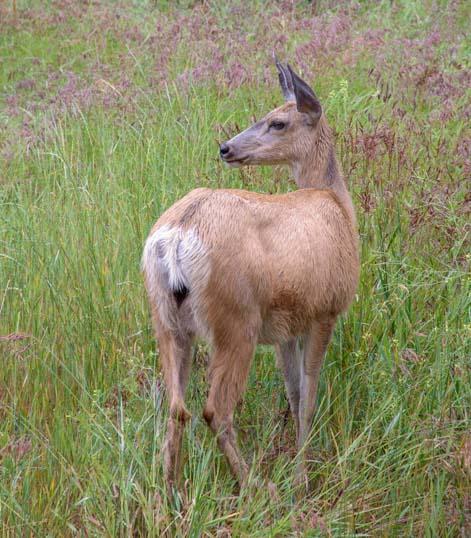 Deer near Libby, Montana