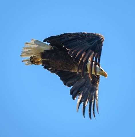 Bald Eagle in flight Libby Montana