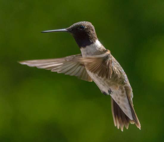 Hummingbird flying Libby Montana