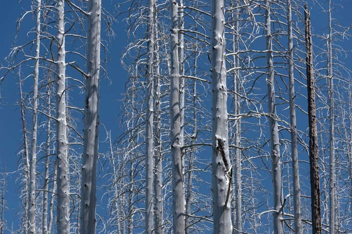Wildfire dead trees Glacier National Park Montana Saint Mary