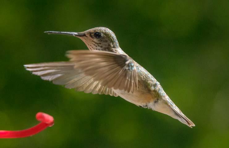 Hummingbird flying above feeder