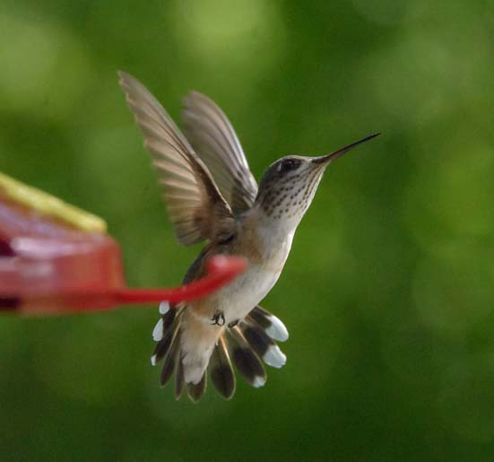 Hummingbird in flight Libby Montana