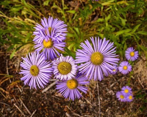 Lavender wildflowers Montana