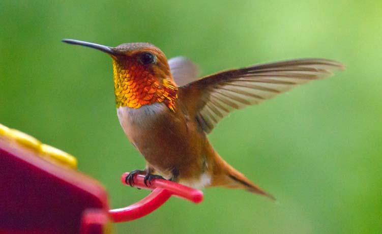 Rufous Hummingbird Libby Montana