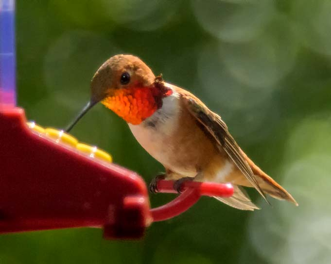 Rufous Hummingbird_