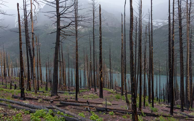 Stand of dead trees from Reynolds Creek Wildfire Glacier National Park