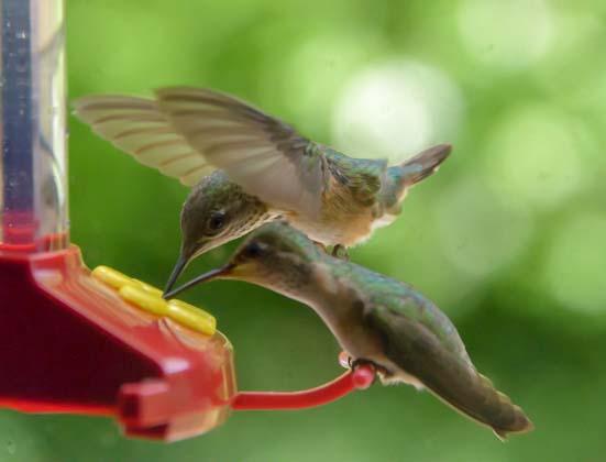 Hummingbirds share RV window feeder