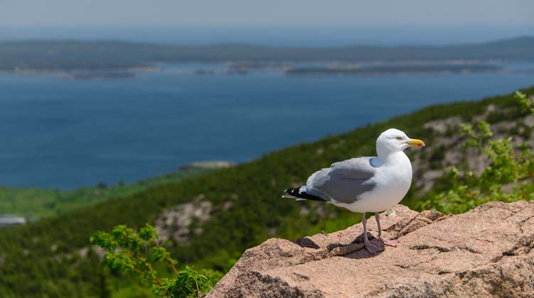 Seagull Cadillac Mountain Acadia National Park Maine