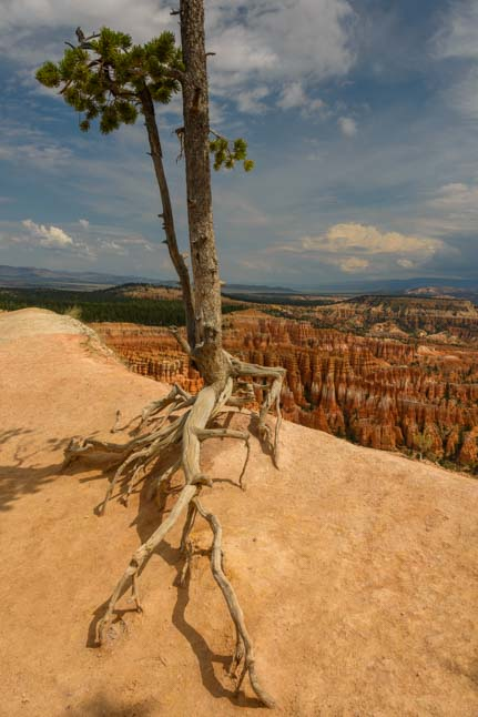 Pine tree Bryce Canyon National Park Inspiration Point Utah