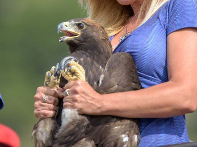 Southwest Wildlife Foundation releases rehabilitated Golden Eagle in Cedar City Utah