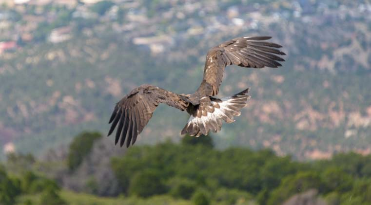A golden eagle is released into the wild by Martin Tyner of Southwest Wildlife Foundation Cedar City Utah