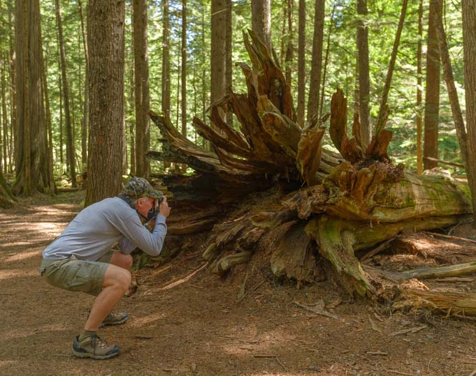 Crazy trunks on fallen cedar trees Ross Creek Montana