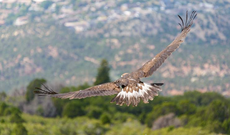 Just released by Southwest Wildlife Foundation - a golden eagle soars over Cedar City Utah