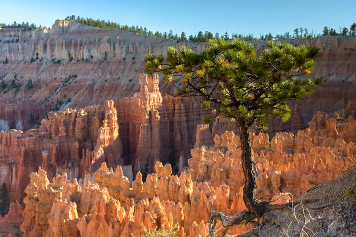 Pine tree Bryce Canyon National Park Utah Inspiration Point