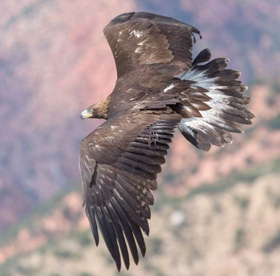Rehabilitated Golden Eagle release to freedom Southwest Wildlife Foundation Cedar City Utah