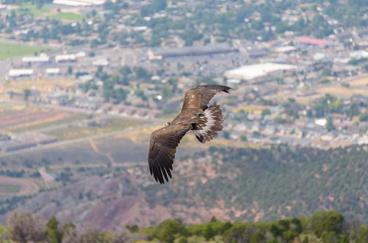 Southwest Wildlife Foundation rehabilitated golden eagle release Cedar City Utah