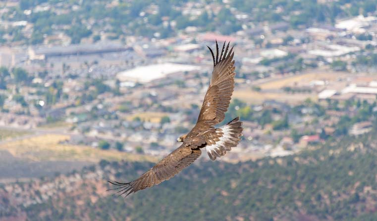 Golden eagle release Cedar City Utah Southwest Wildlife Foundation