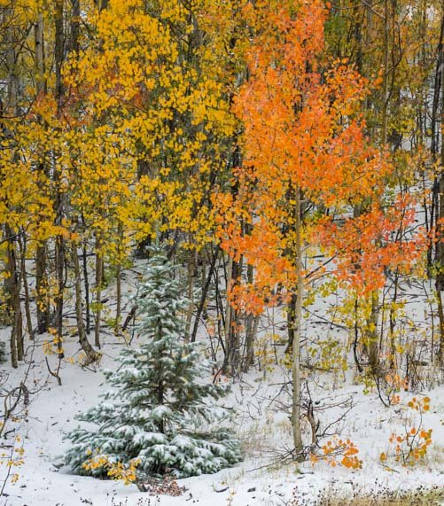 Colorful aspens in winter snow storm with pine tree
