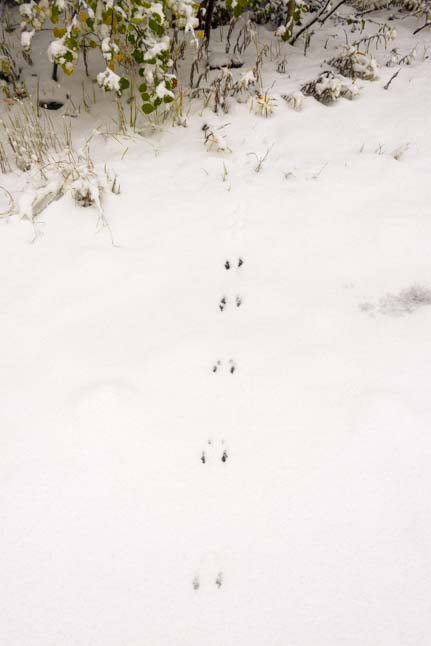 Animal tracks in the winter snow