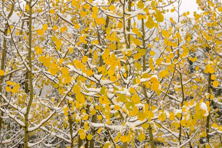 Golden aspen in snow in winter