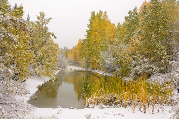 Golden aspen in snow by pond in winter