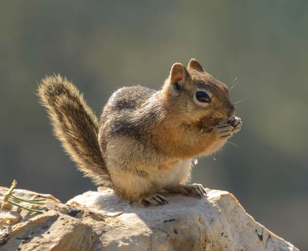 Chipmunk Bryce Canyon National Park Utah