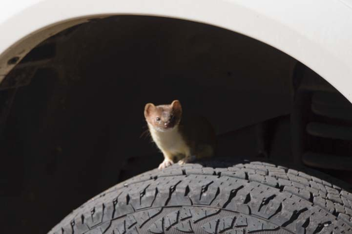 Stoat on a truck tire in Utah