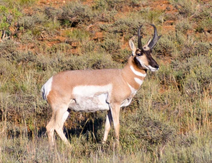 Pronghorn antelope Bryce Canyon National Park Utah