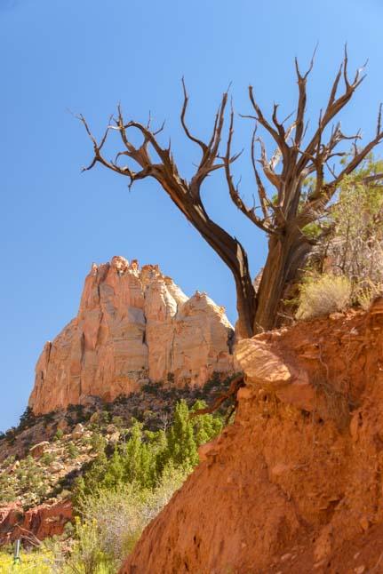Dead tree Burr Trail Scenic Byway 12 Utah