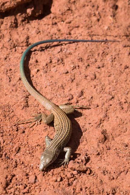 Lizard Lower Calf Creek Falls Grand Staircase Escalante Utah
