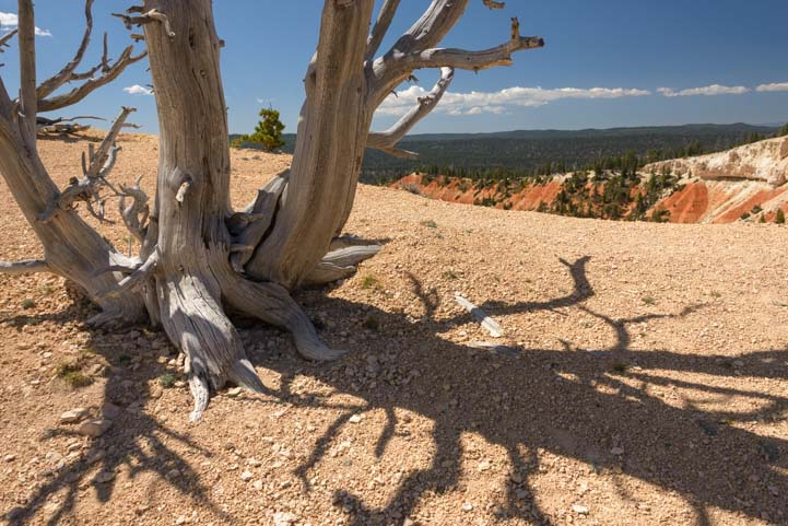 Bristlecone Pine Shadow Rainbow Point Bryce Canyon National Park Utah