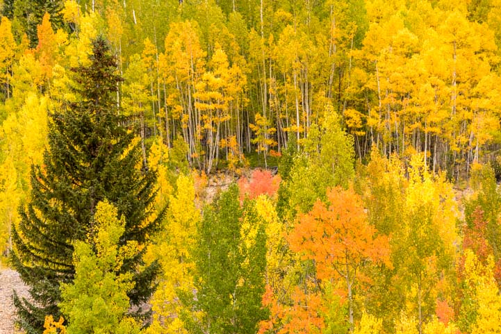 Trees in autumn San Juan Skyway Colorado Rocky Mountains Autumn Leaves
