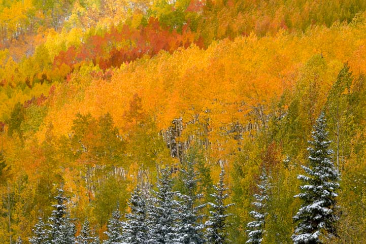 Golden aspen and pine trees San Juan Skyway Colorado Rocky Mountains fall foliage