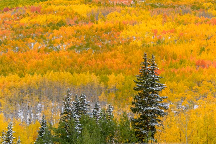 Pine trees and golden aspen San Juan Skyway Colorado Rocky Mountains fall foliage
