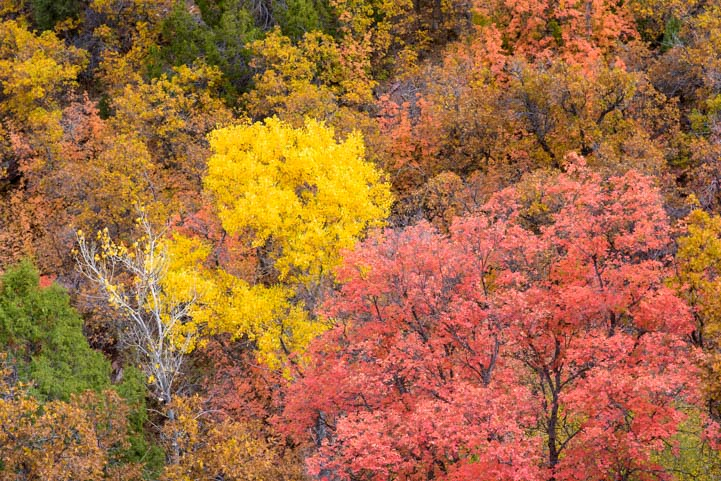 Fall Foliage Kolob Canyons Zion National Park Utah