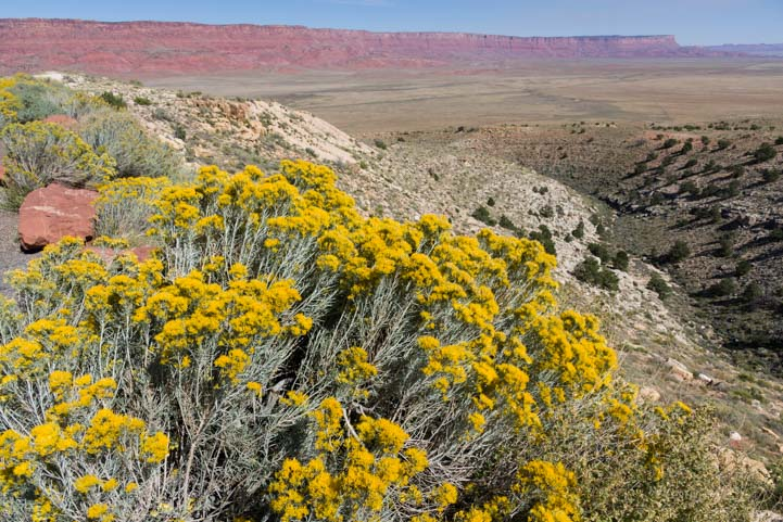 Wildflowers Vermillion Cliffs National Monument Arizona