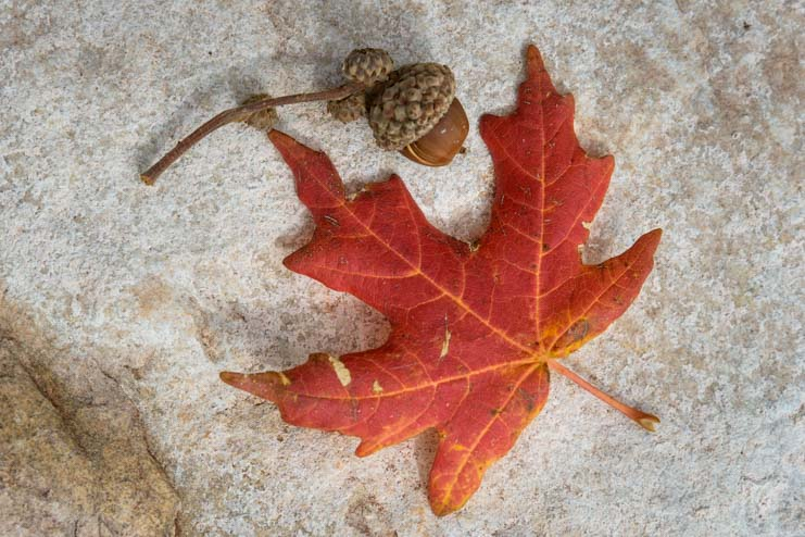 Maple Leaf and acorn from Zion Canyon