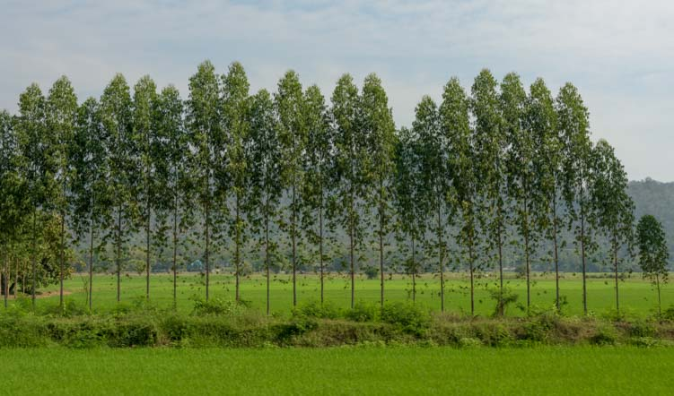 Rubber trees in Thailand