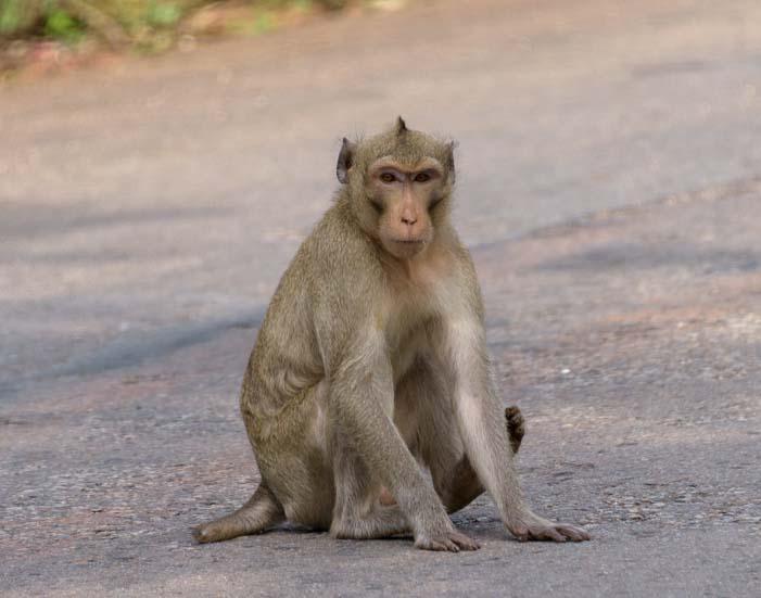 Long tailed monkey Kanchanaburi Thailand